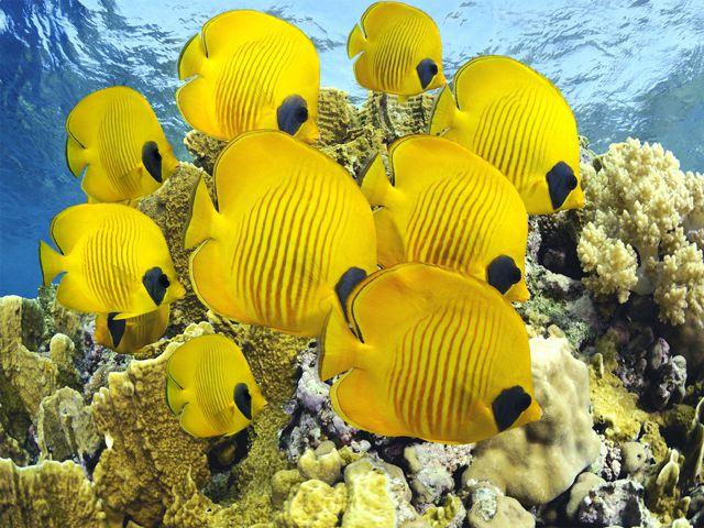 Рыбы бабочки - косяк